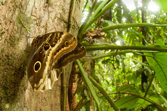 Caligo, or Owl butterfly