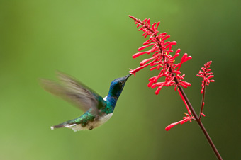 White-necked jacobin feeding on flower necta